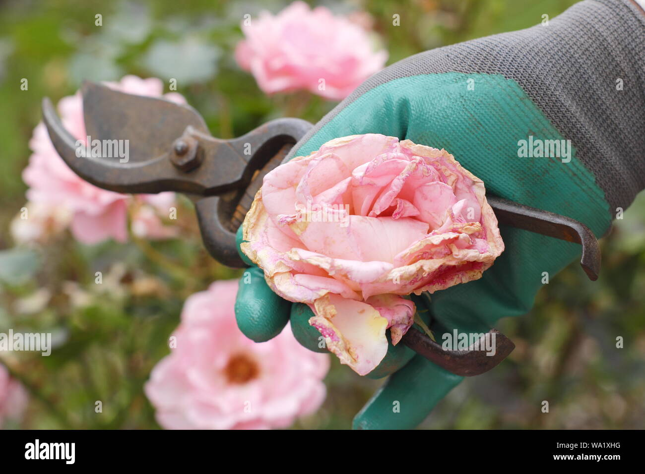 Rosa 'Silver Jubilee'. Faded rose blooms are deadheaded with secateurs to prolong flowering - summer. UK Stock Photo