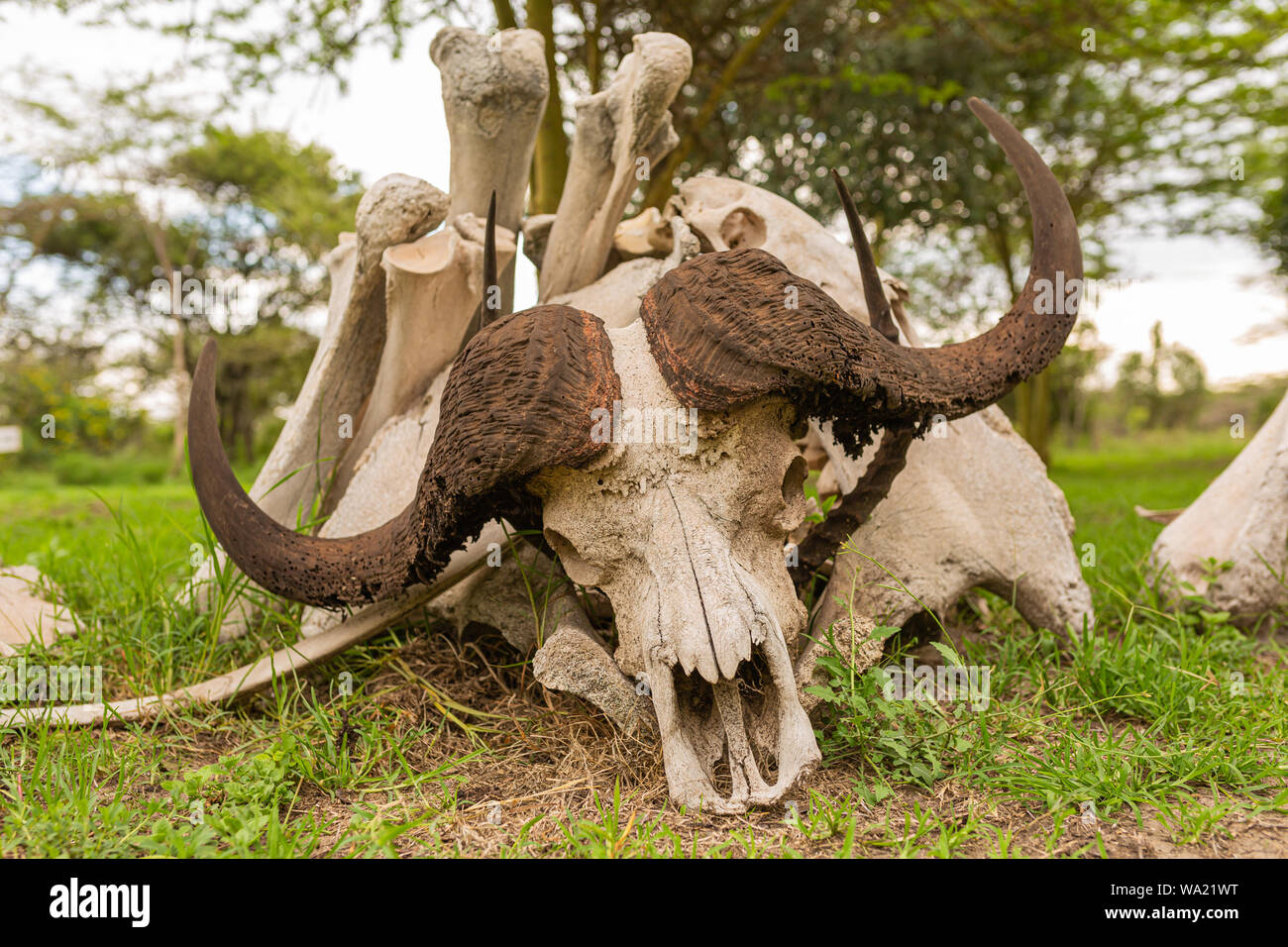 Colour photograph of small pile of African animal bones with Buffalo skull placed in front. Stock Photo
