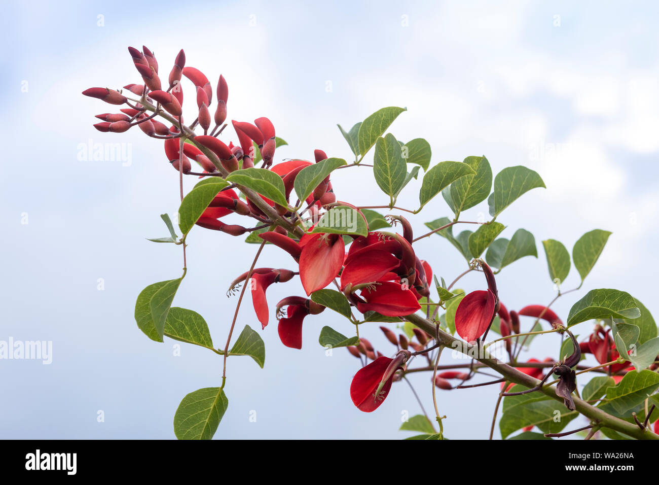 Waxy red flowers of  a flowering tree Erythrina crista-galli, also known as the cockspur coral tree. Stock Photo