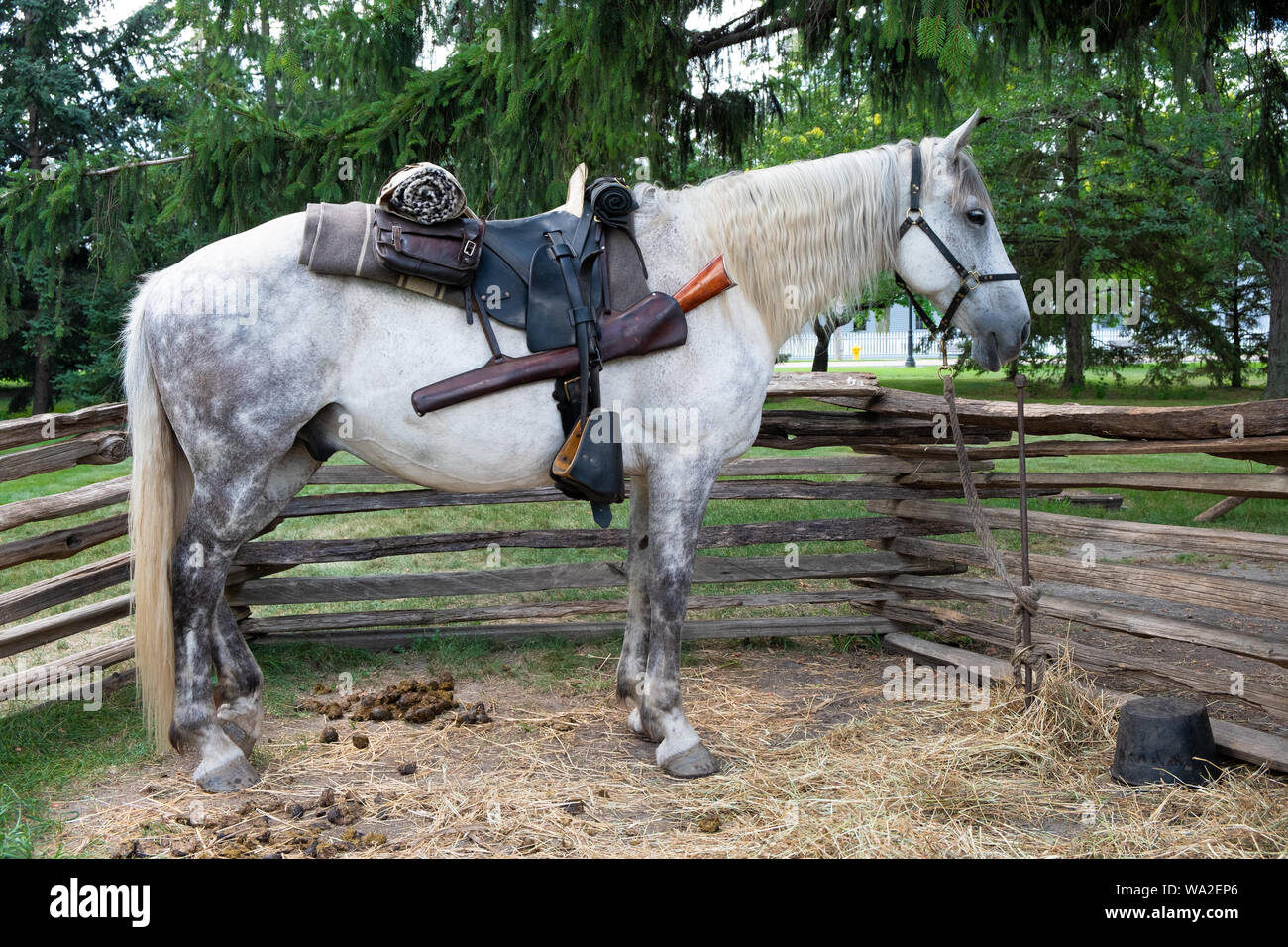 Dapple Gray Horse High Resolution Stock Photography And Images Alamy