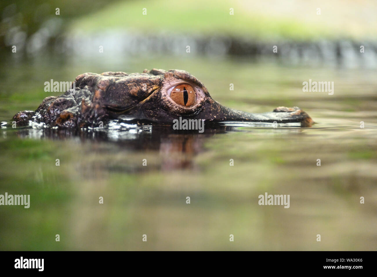 Beautiful close-up portrait of young caiman in water. Stock Photo
