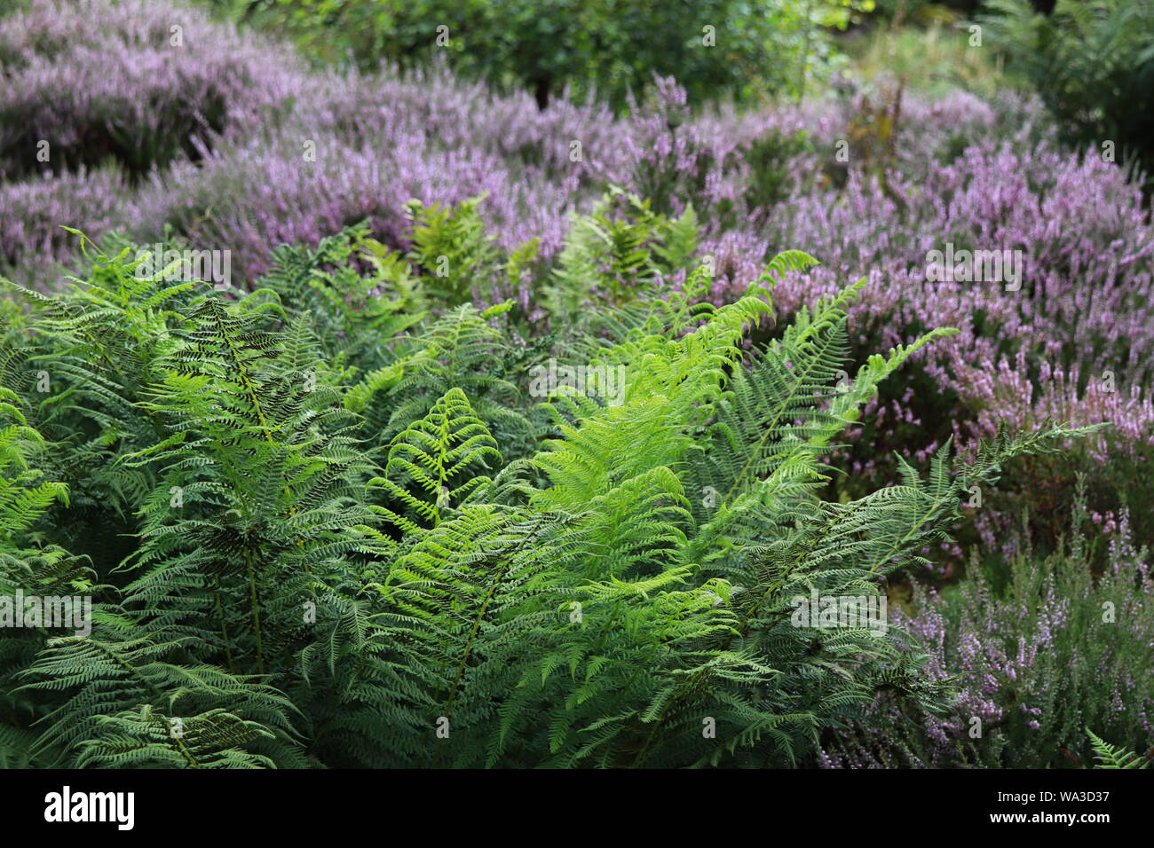 Heather and ferns in close up Stock Photo