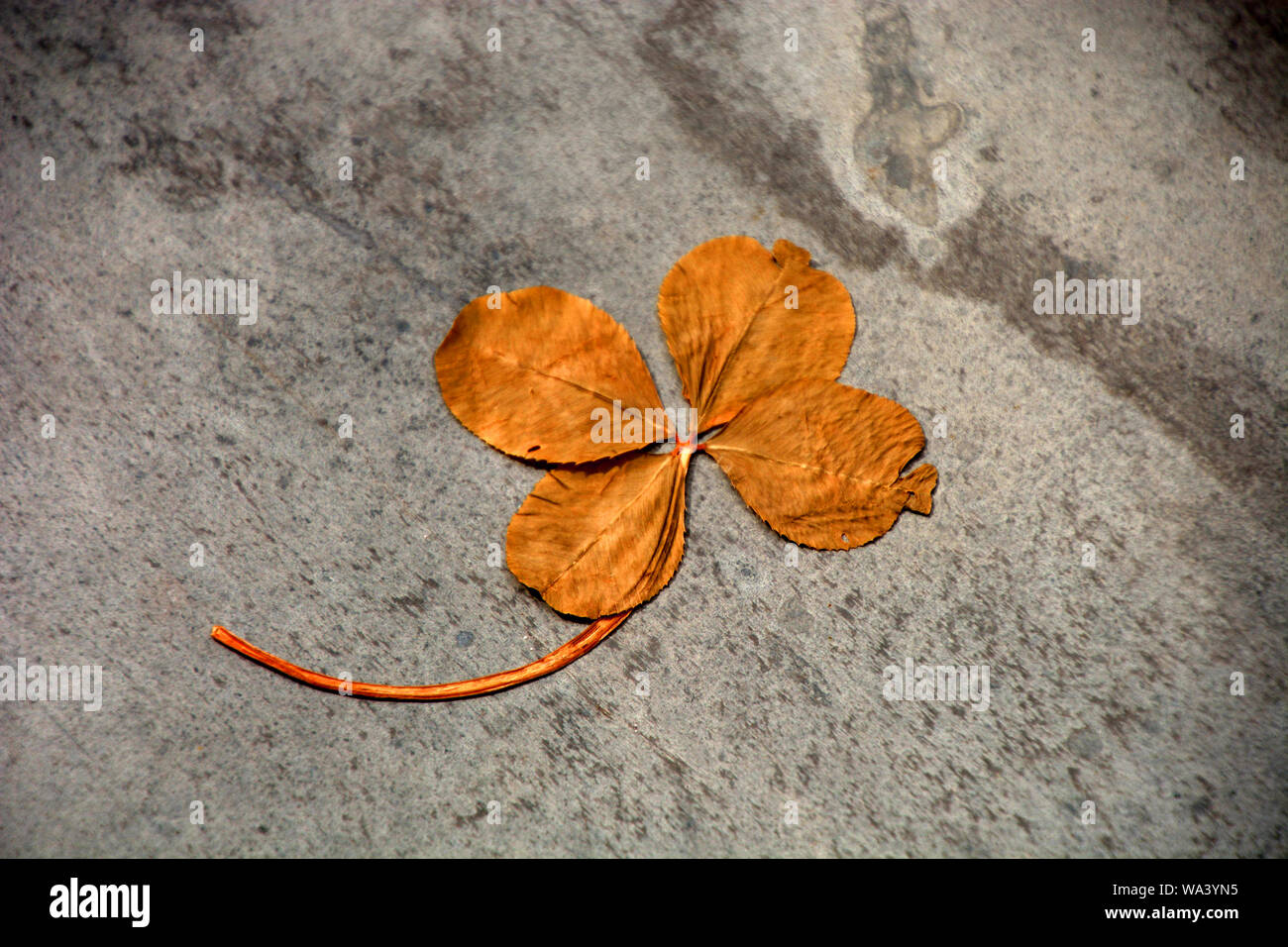 dried four-leaf clover symbol for everlasting luck, lucky clover saint patrick concept Stock Photo