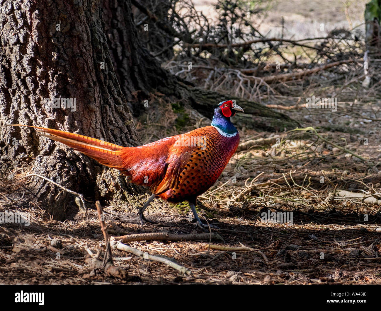 Colourful plumage on a male ring necked or common pheasant Phasianus colchicus walking in woodland. Pheasants are thought the most common  game-bird. Stock Photo
