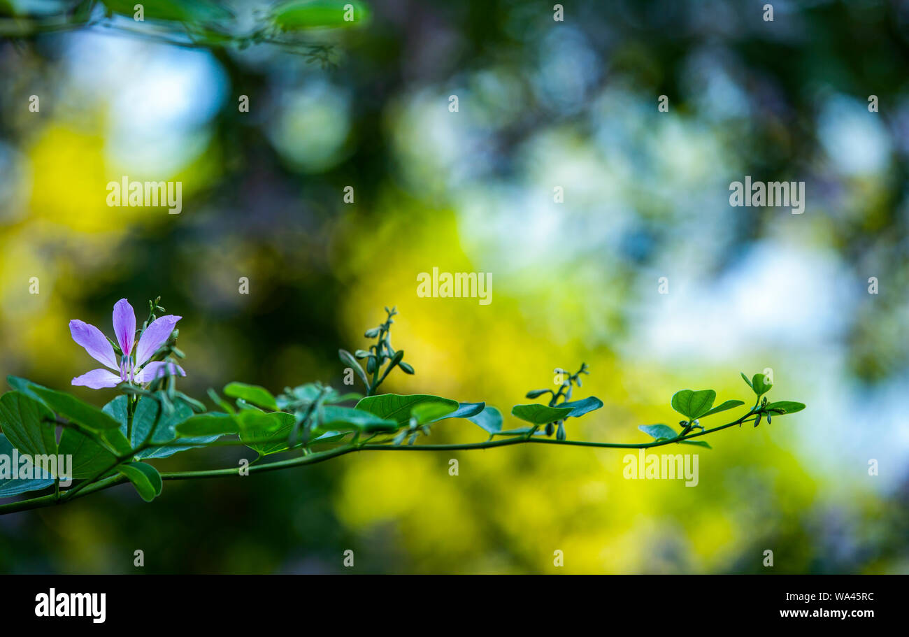 lush purple fragil flower is growing on a branch with green leaves in a blurred light Stock Photo