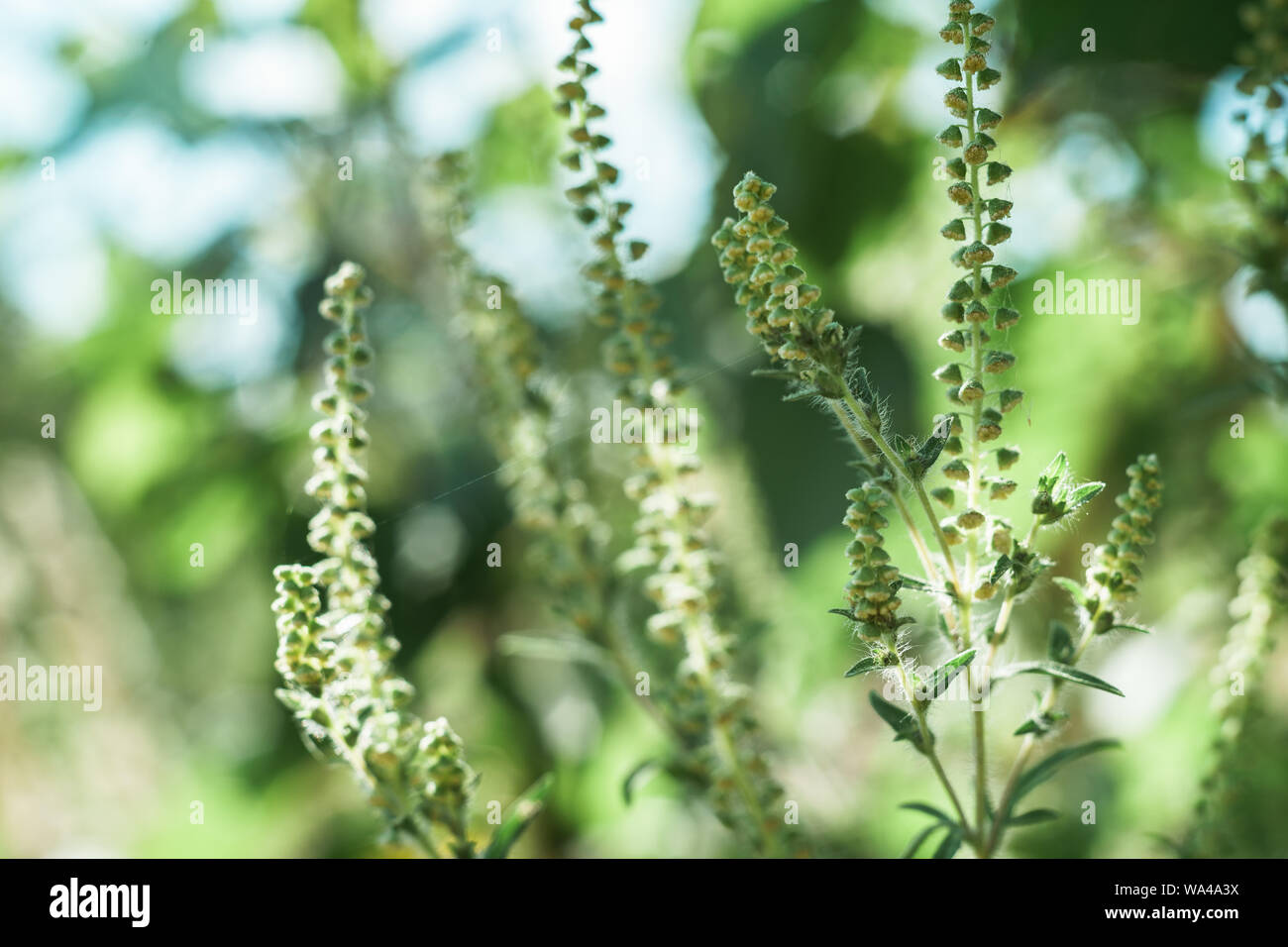 Close up ragweed on a garden. Macro view. Stock Photo