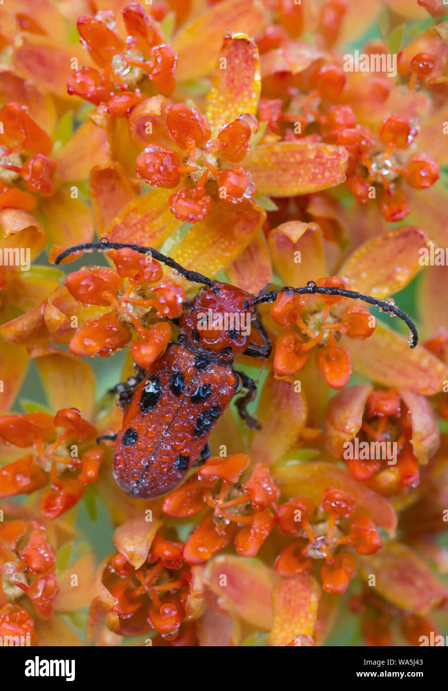 Dew-covered Red Milkweed Beetle (Tetraopes tetrophthalmus) on flowers of Butterfly Weed (Asclepias tuberosa),                     Eastern United State Stock Photo