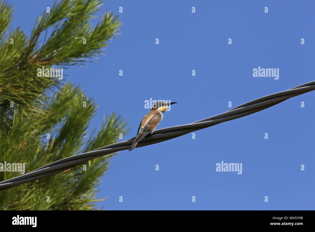 European or African bee eater or bee-eater Latin merops apiaster family meropidae gruccione perched on a wire near a Mediterranean pine in Italy Stock Photo