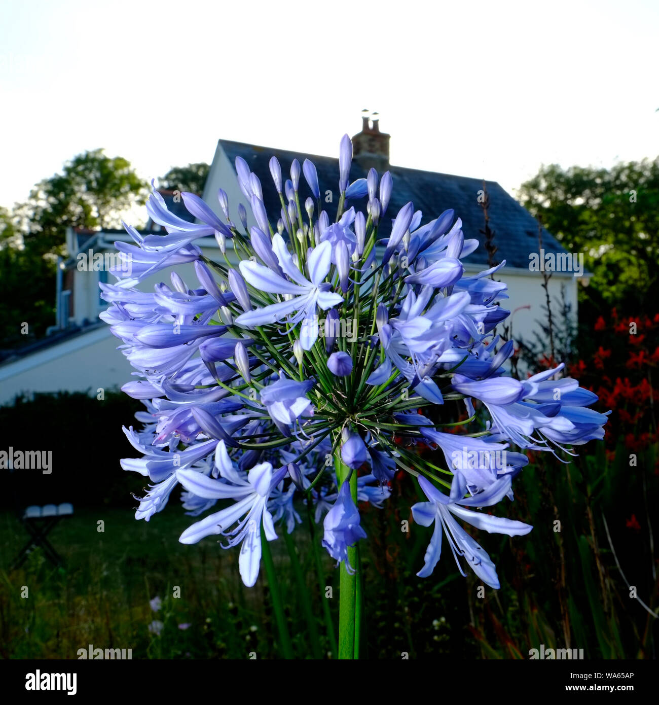 A potted Agapanthus during the height of an English summer in full bloom Stock Photo