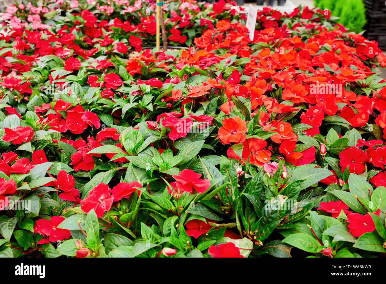 Beautiful fresh impatiens arranged in a flower shop. Red sunpatient flowers. Stock Photo