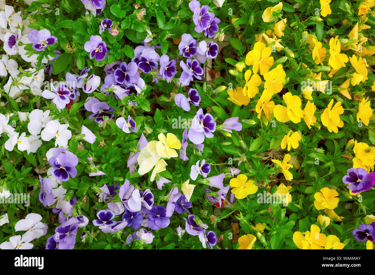 Colorful violet flowers in a garden. Close up overhead view. Stock Photo