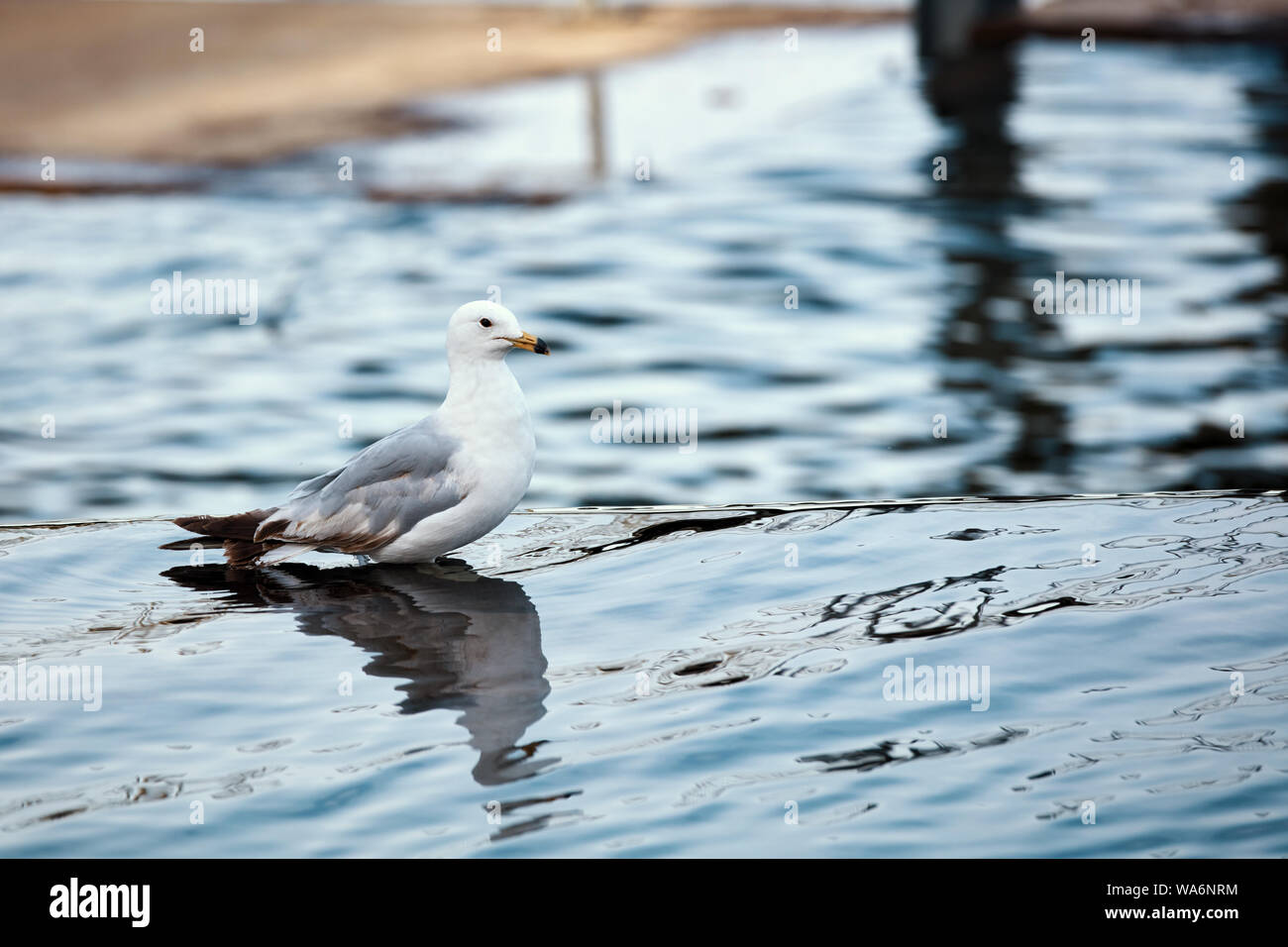 One seagull standing in the water of a pond. Close up view. Stock Photo