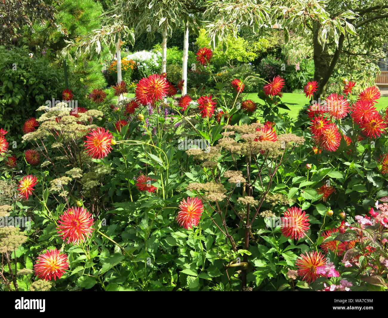 The dahlias make a splash of colour in a border at John's Garden at Ashwood Nurseries, which had a charity Open Day for the public in August 2019. Stock Photo