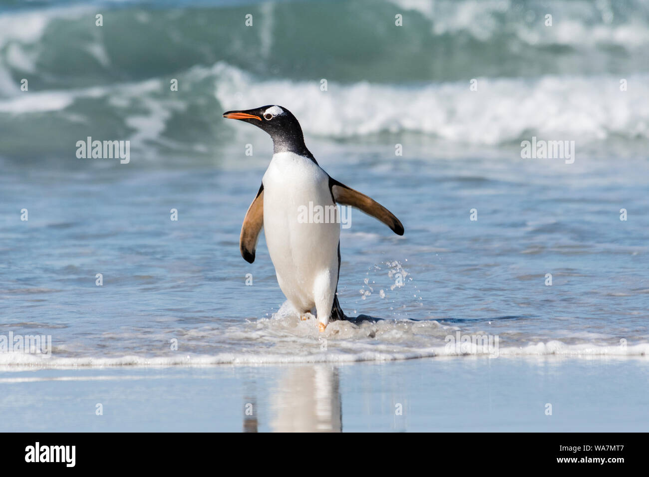 Wild, adult Gentoo Penguin, Pygoscellis papua, emerging from the surf at the Neck, Saunders Island, in the Falkland Islands, South Atlantic Ocean Stock Photo