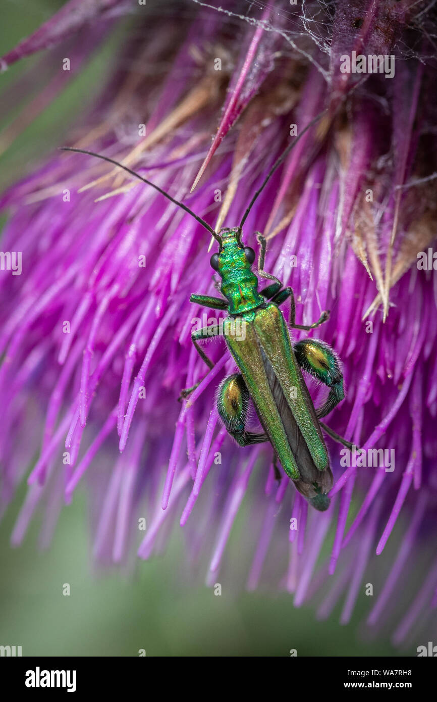 Swollen-thighed beetle (Oedemera nobilis) feeding on pollen on a thistle flower on the Polden Hills, Somerset, UK Stock Photo
