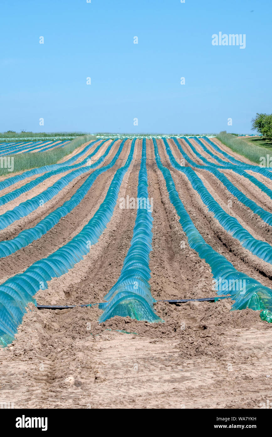 blue green plastic covers small plants and creates a mini green house, in this north American farm field Stock Photo