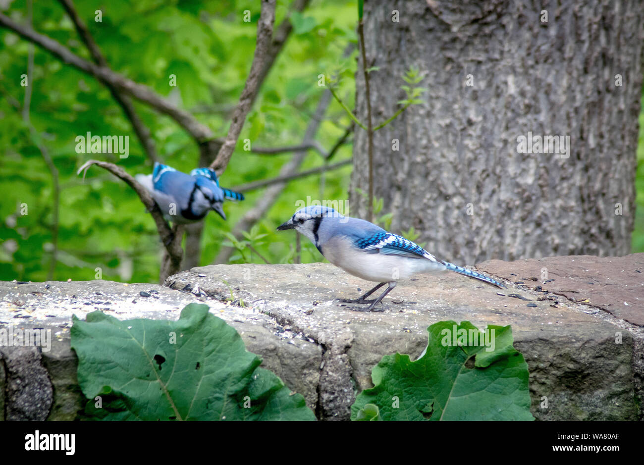 A blue jay flies in to meet his mate, who is standing on a stone wall in the garden. Both female and male look the same, however the male is smaller Stock Photo