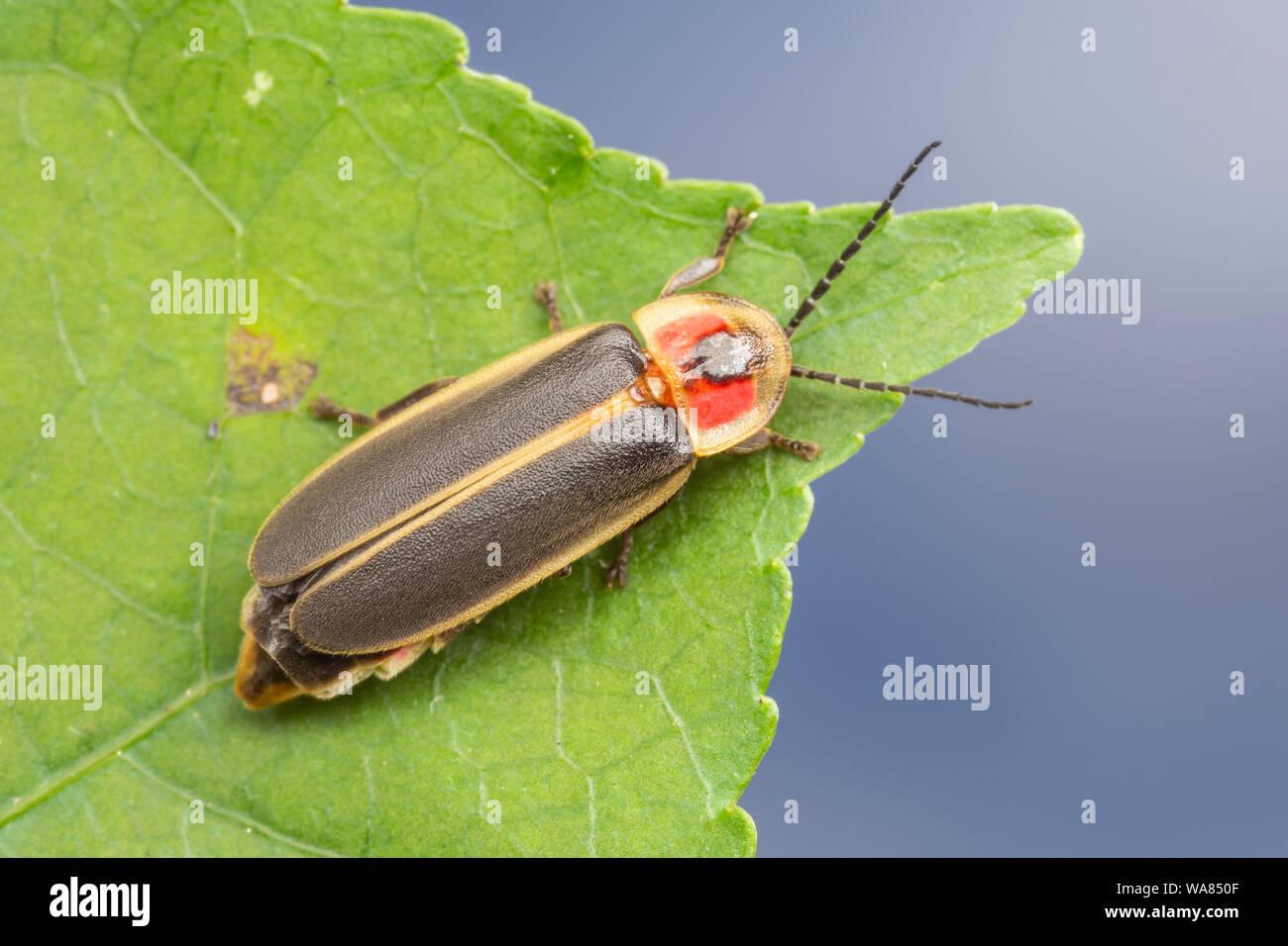 Common Eastern Firefly (Photinus pyralis) Stock Photo