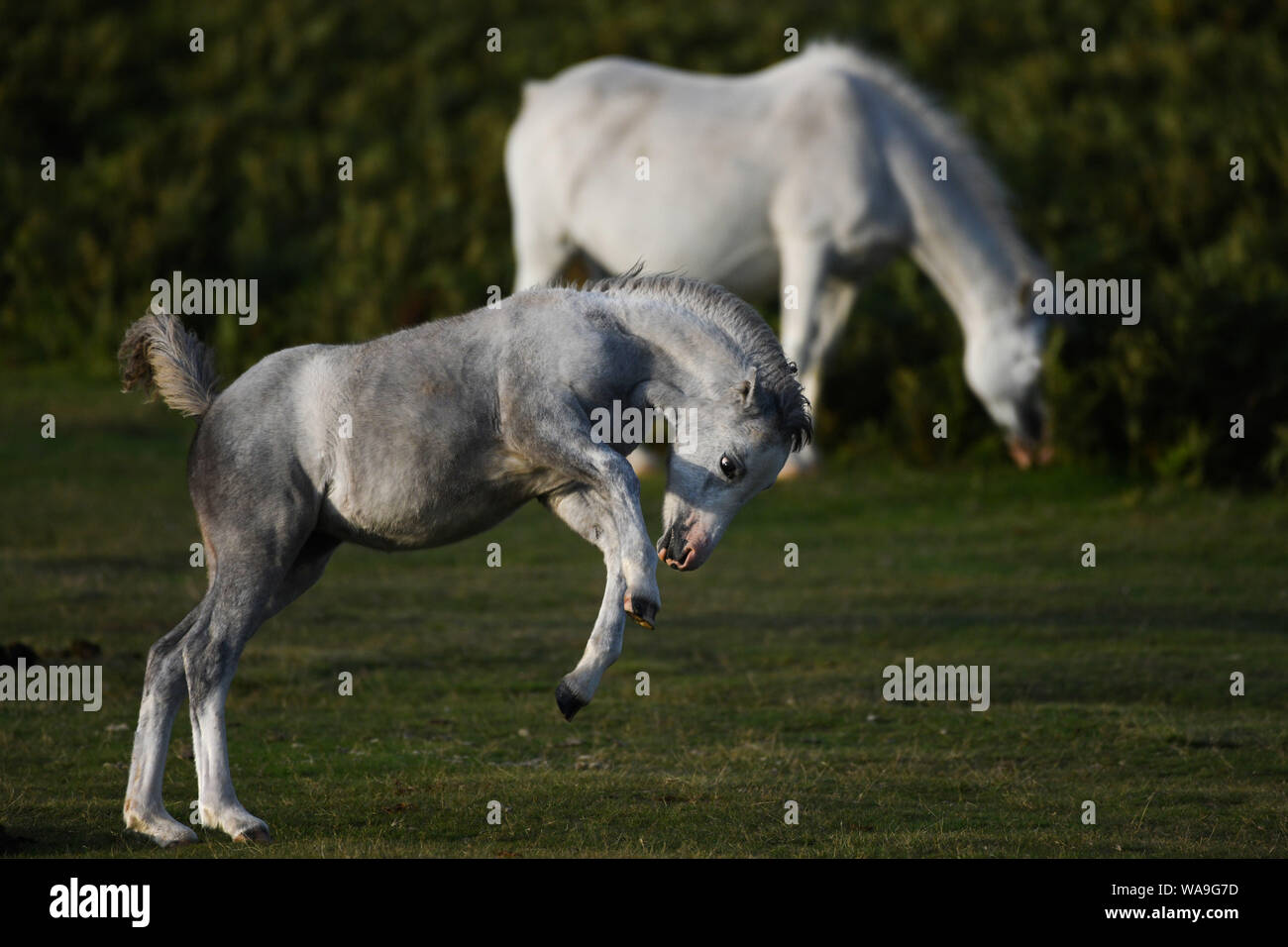 Gower Peninsular, Wales, UK. Monday 19th August 2019. Wild ponies are pictured on Gower in South Wales, as dawn breaks on the peninsular. The hardy ponies wander freely on the common land of the Gower and are an everyday sight in the summer months at the hight of the grazing season. Credit : Robert Meelen/Alamy Live News. Stock Photo