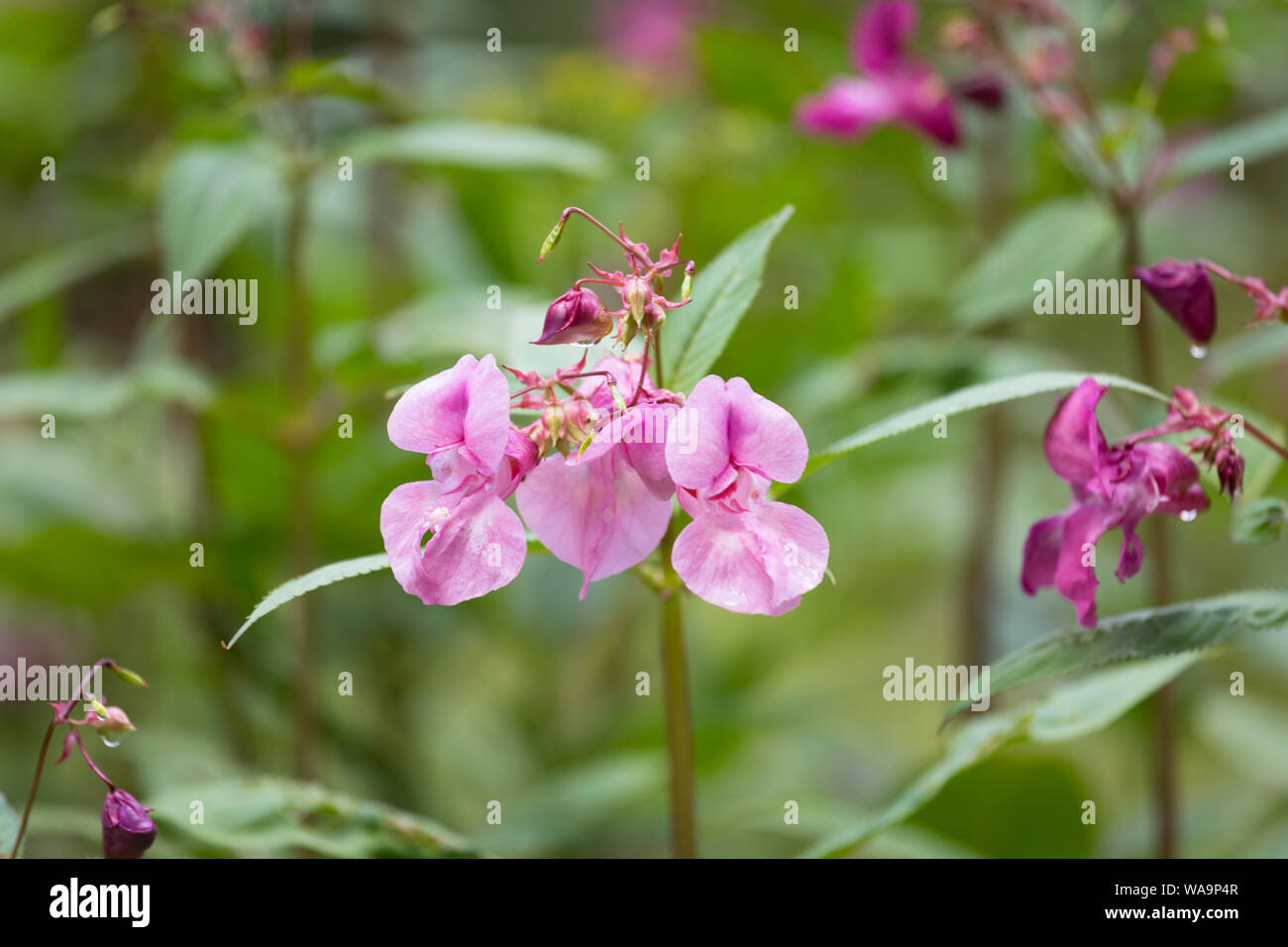 """Snapweed blooming in national park """"Bayerischer Wald"""" in Bavaria, Germany Stock Photo"""