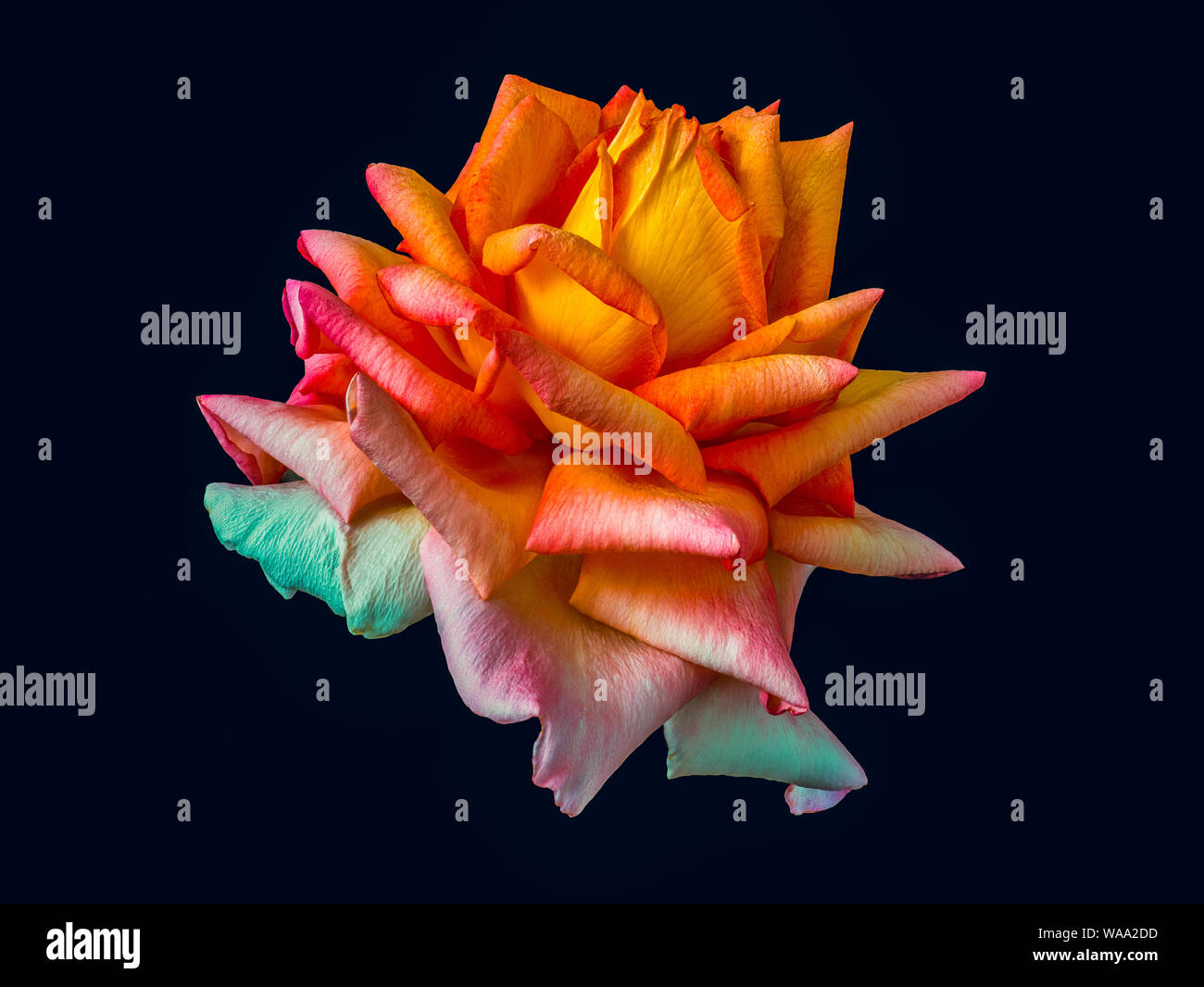 Rainbow colored isolated rose blossom macro fantasy on black background, a surrealistic vibrant colorful close-up of a single bloom Stock Photo