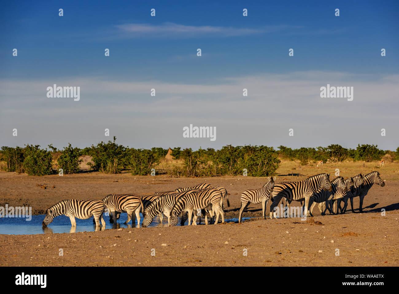 Plains Zebra - Equus quagga; large popular horse like animal from African savannas; Etosha National Park; Namibia Stock Photo