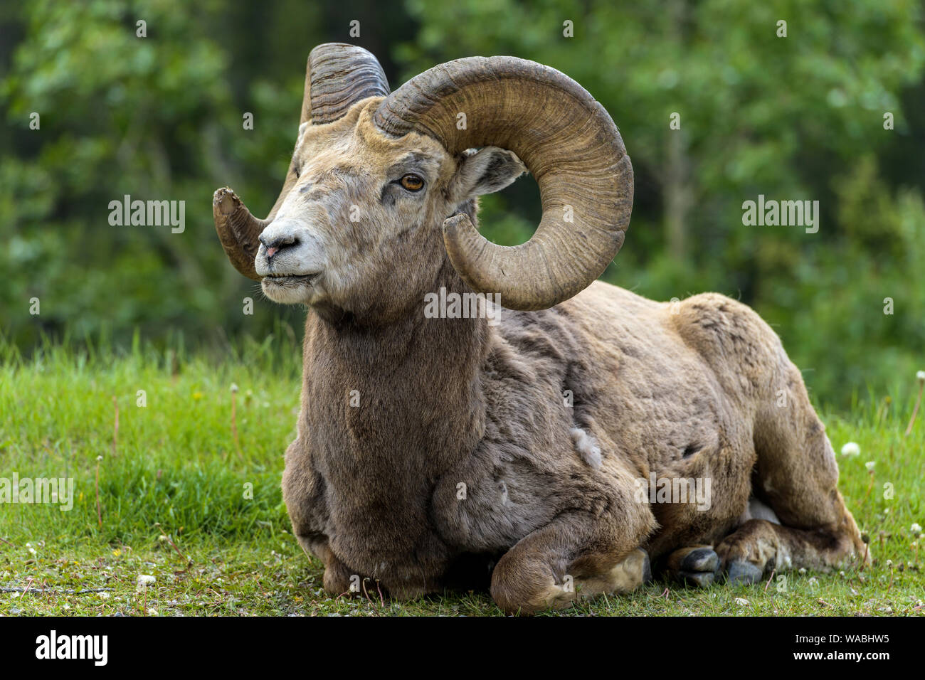 Bighorn Ram - Close-up front view of a bighorn sheep ram resting on a meadow at edge of a mountain forest near Two Jack Lake, Banff National Park. Stock Photo