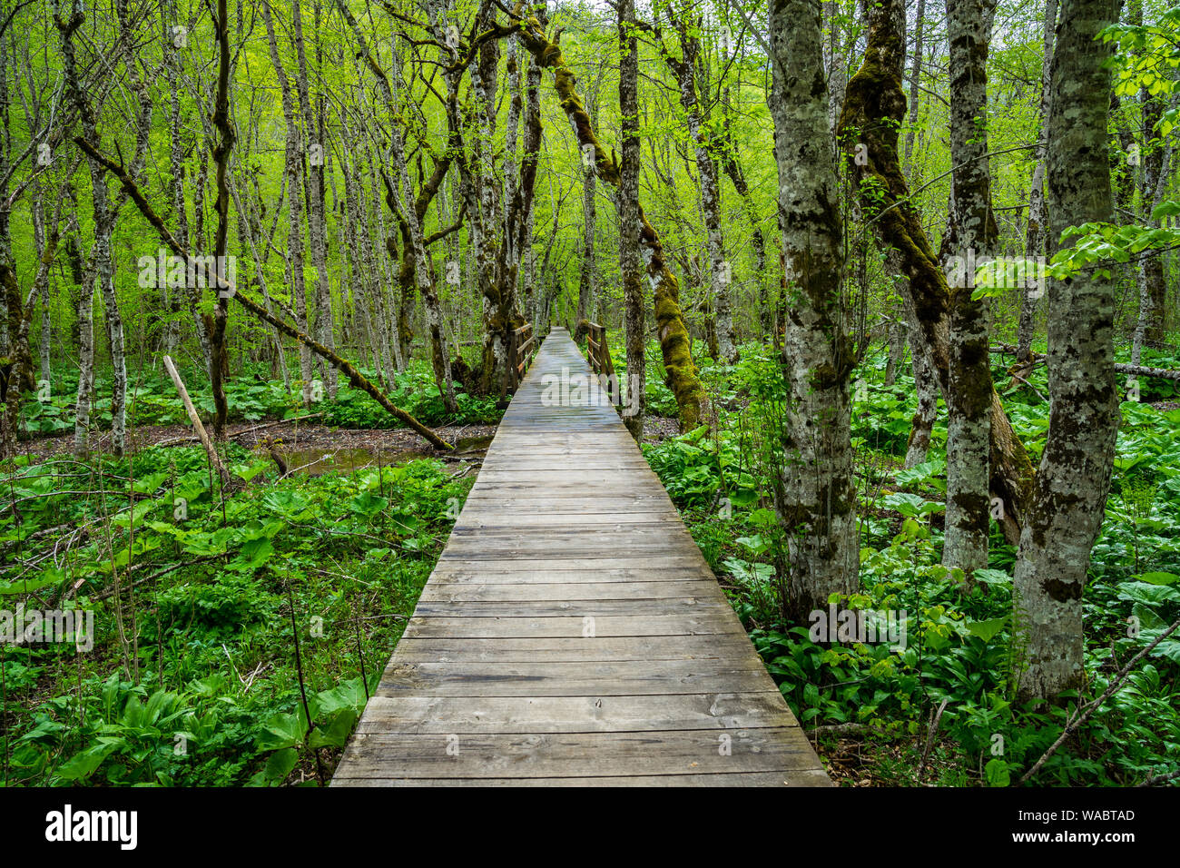 Montenegro, Endless wooden walkway path through green unspoiled rainforest nature landscape and mire of biogradska gora national park Stock Photo