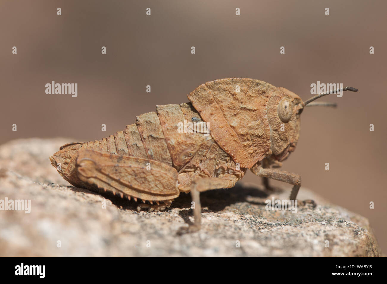 Ocnerodes fallaciosus grasshopper with vestigial wings with a mimicry that makes them look like a stone or a twig perched on a stone with a brown back Stock Photo