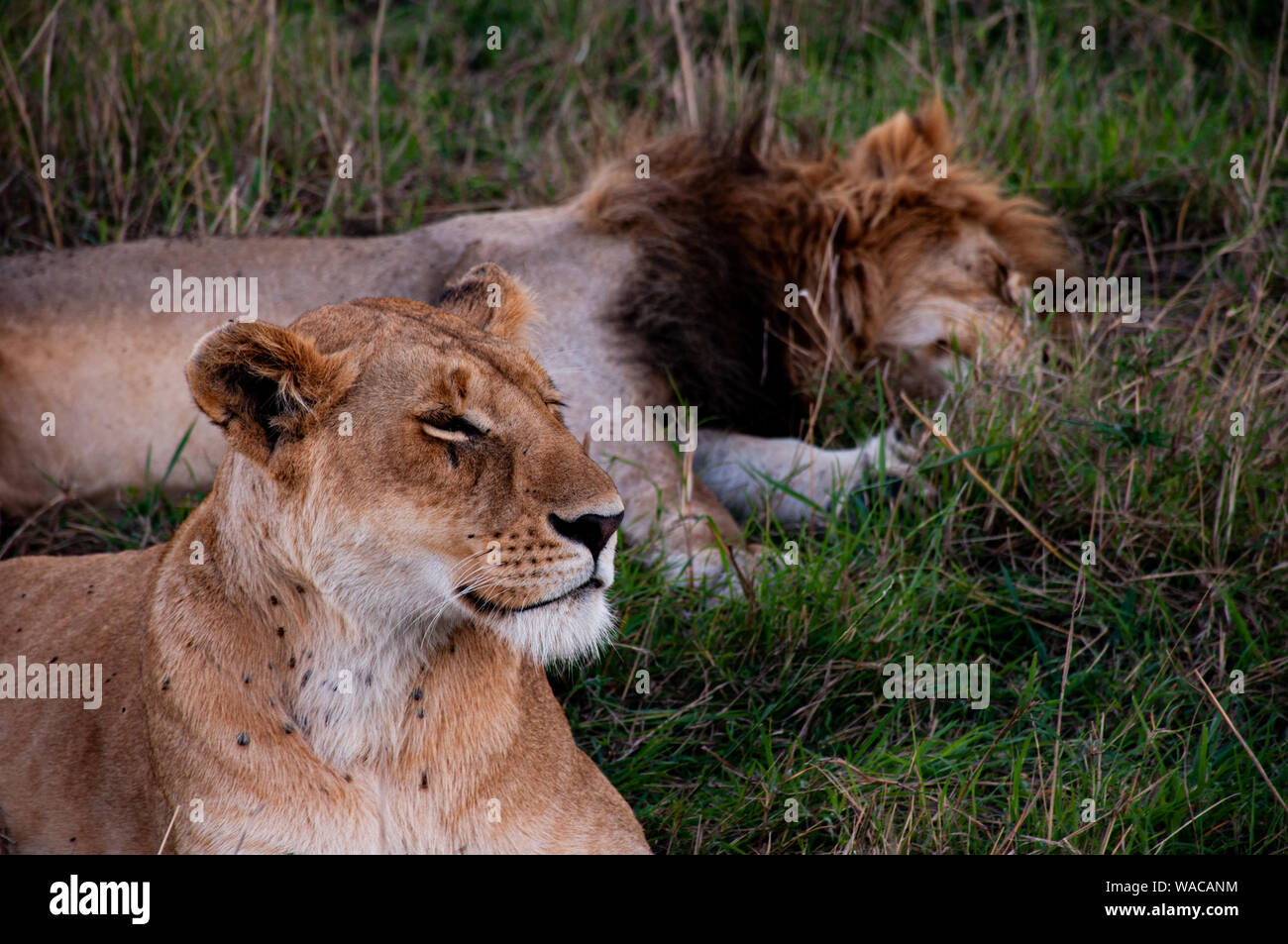 Löwen-Paar (Löwen-Pärchen) liegt vor einem Baum in der Masai Mara Stock Photo
