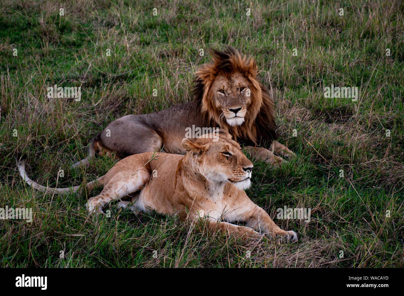 Löwen-Paar (Löwen-Pärchen) liegt zusammen träumend in der Masai Mara, Löwe schaut direkt in die Kamera Stock Photo