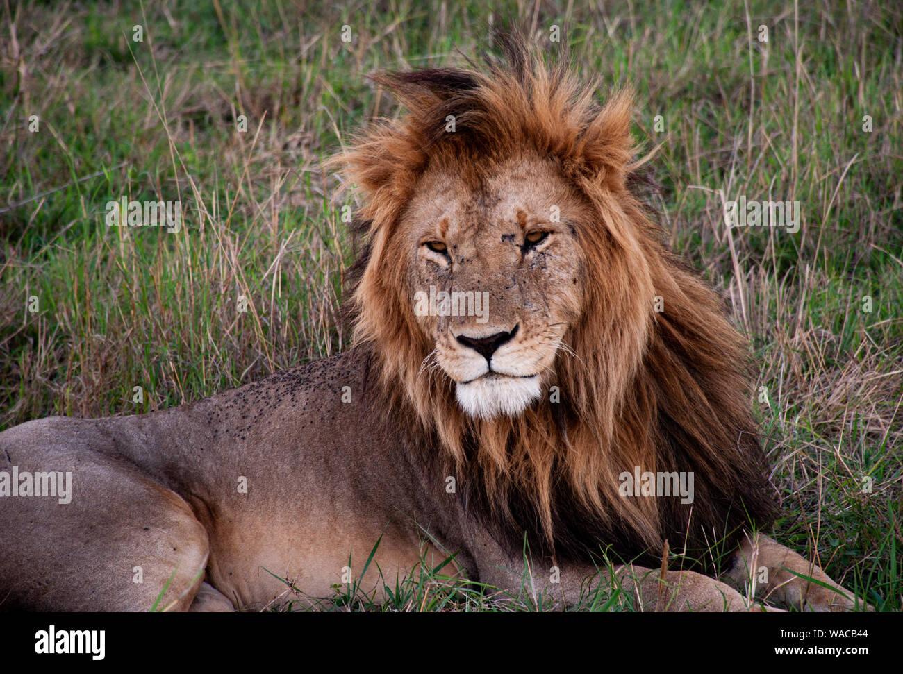 Portrait eines männlichen Löwen mit schöner Mähne, der an der Kamera vorbei schaut Stock Photo