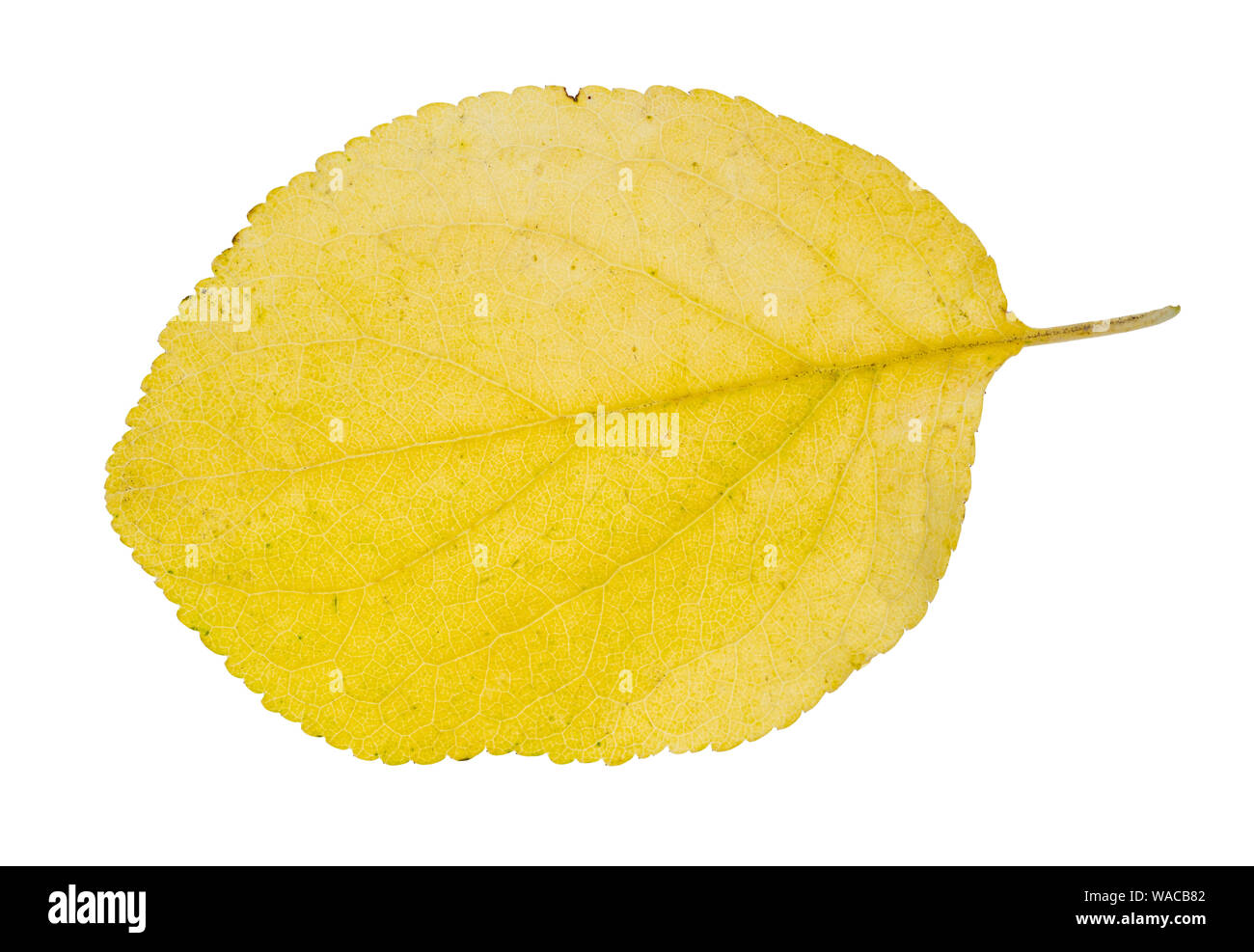 fallen yellow leaf of plum tree cutout of white background Stock Photo
