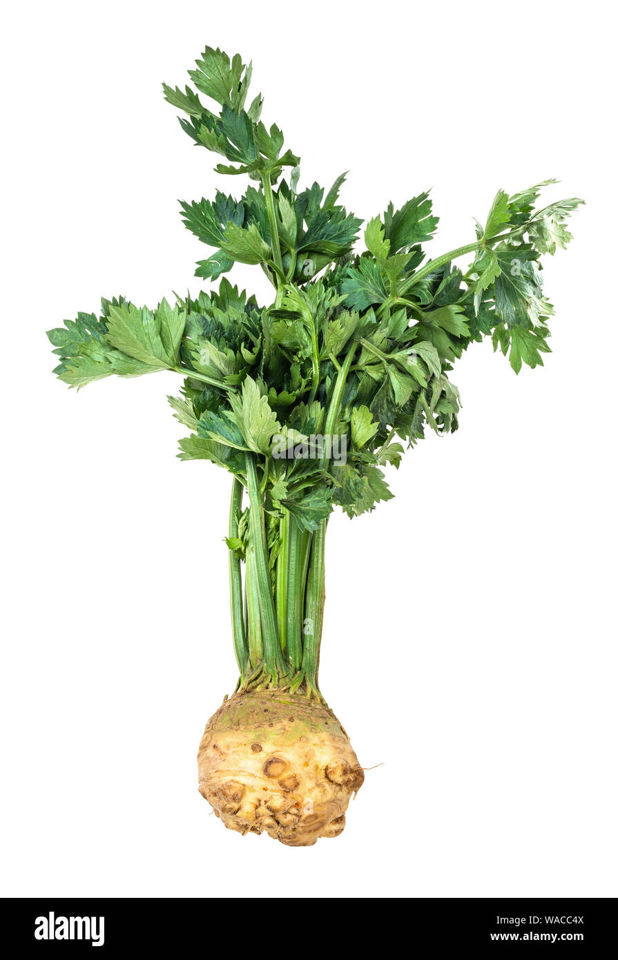 fresh organic celeriac (celery root) with greens cutout on white background Stock Photo