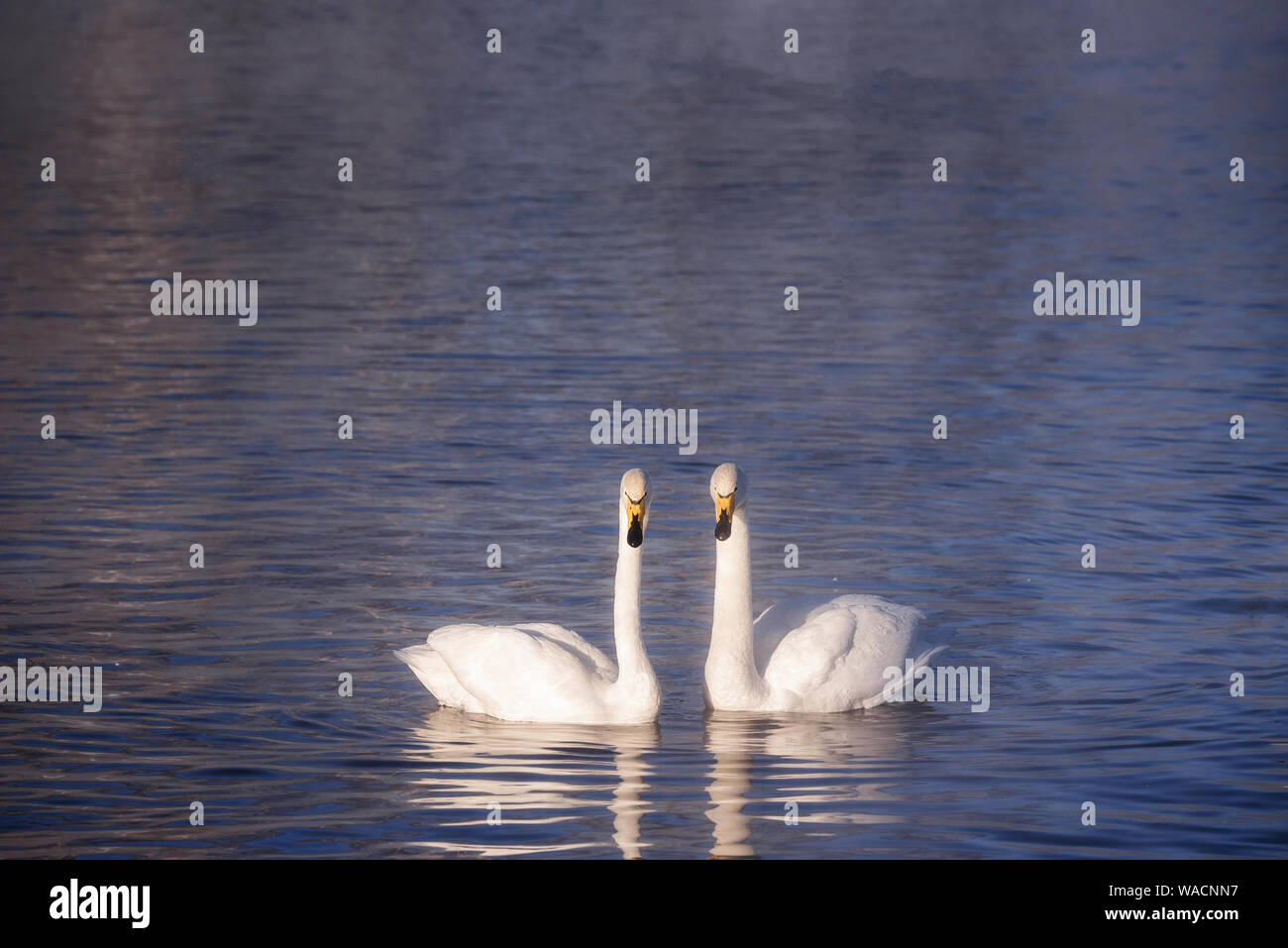 "Two swans in love swim beautifully on a winter lake. ""Lebedinyj"" Swan Nature Reserve, ""Svetloye"" lake, Urozhaynoye Village, Sovetsky District, Altai r Stock Photo"