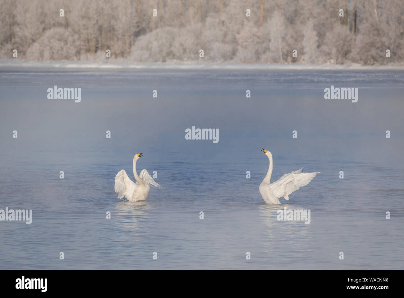 "Two swans in love swim beautifully on a winter lake. ""Lebedinyj"" Swan Nature Reserve, ""Svetloye"" lake, Urozhaynoye Village, Sovetsky District, Altai r Stock Photo"