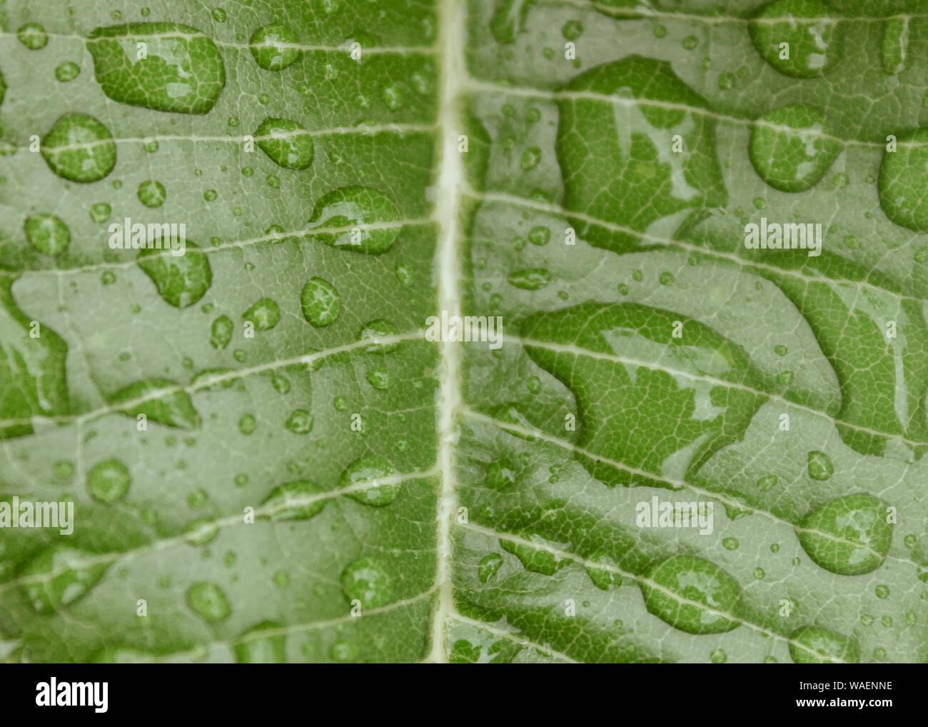 Leaf Epidermis Stock Photos Leaf Epidermis Stock Images