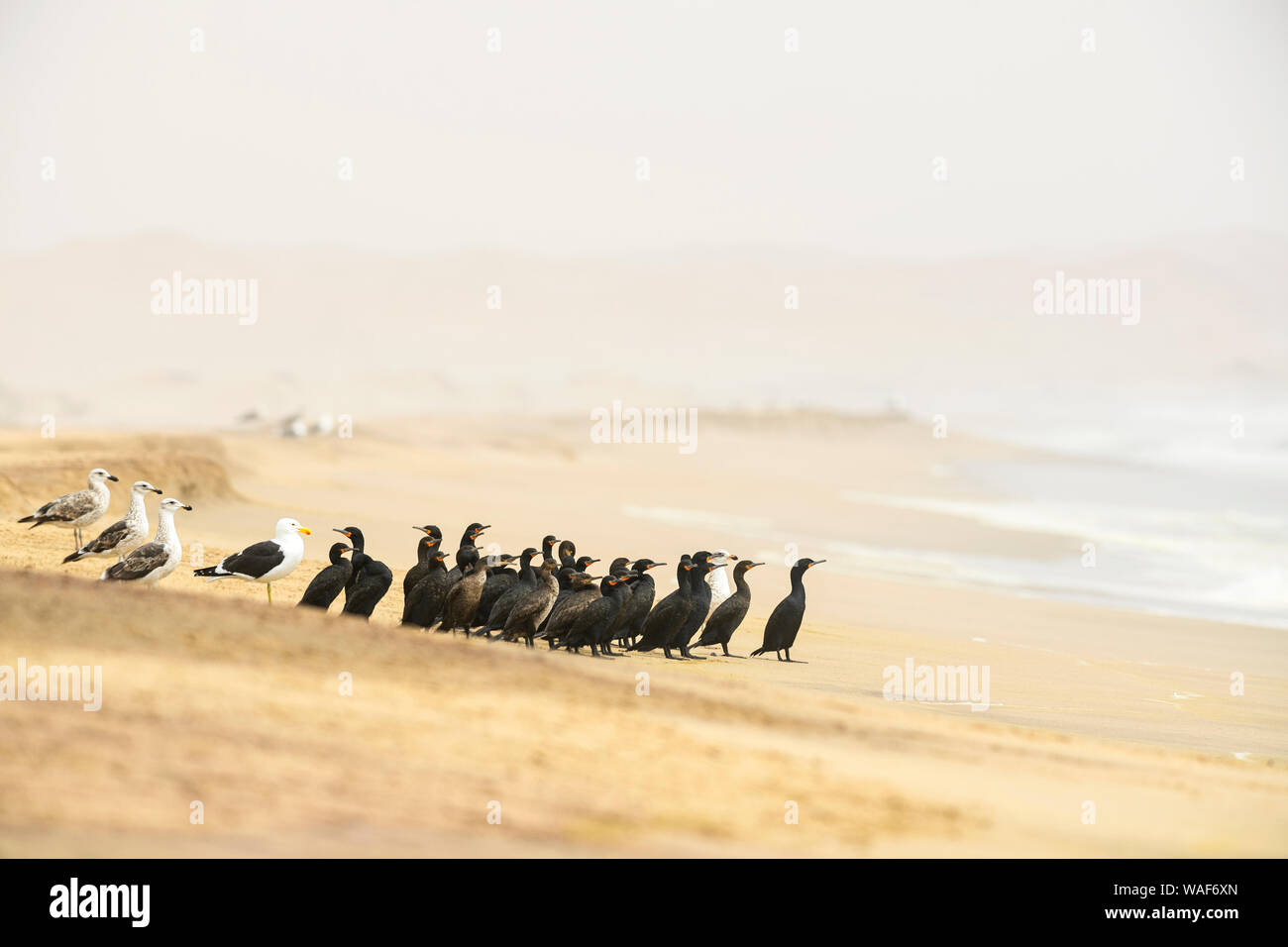 Cape Cormorant - Phalacrocorax capensis, endangered cormorant species from Southwest African coasts and mangroves, Walvis Bay, Namibia Stock Photo