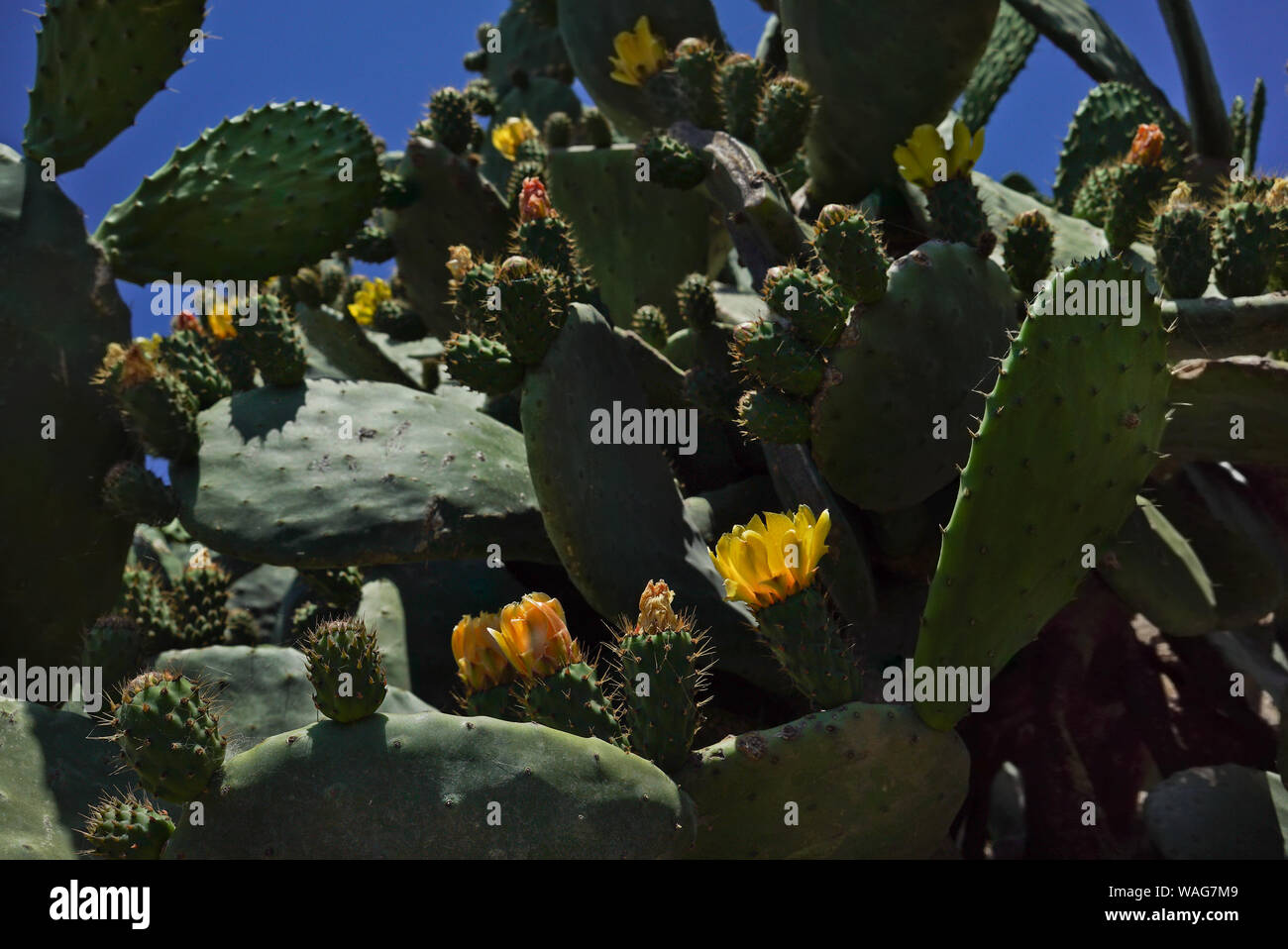 Yellow flowers on large green cacti against a blue sky. Wildlife. Close up. Hot sunny day. Contrast light. Stock Photo