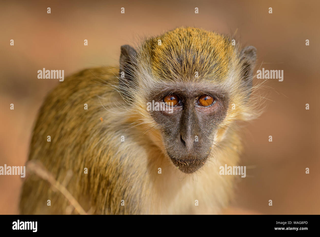 Green Monkey - Chlorocebus aethiops, beautiful popular monkey from West African bushes and forests, Senegal. Stock Photo