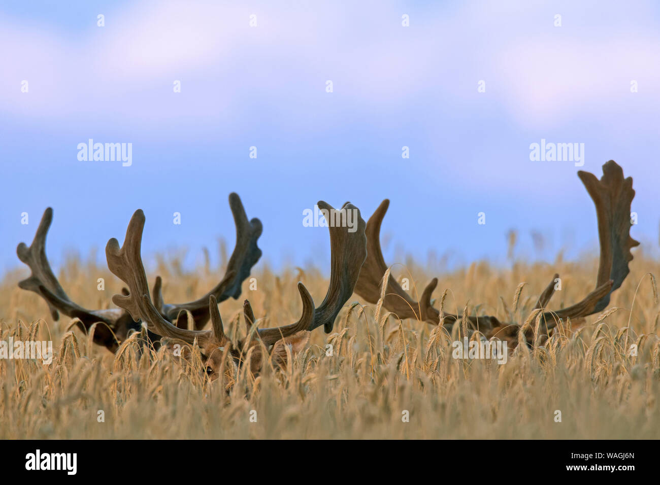 Three hidden fallow deer (Dama dama) bucks with antlers covered in velvet foraging in wheat field in summer Stock Photo