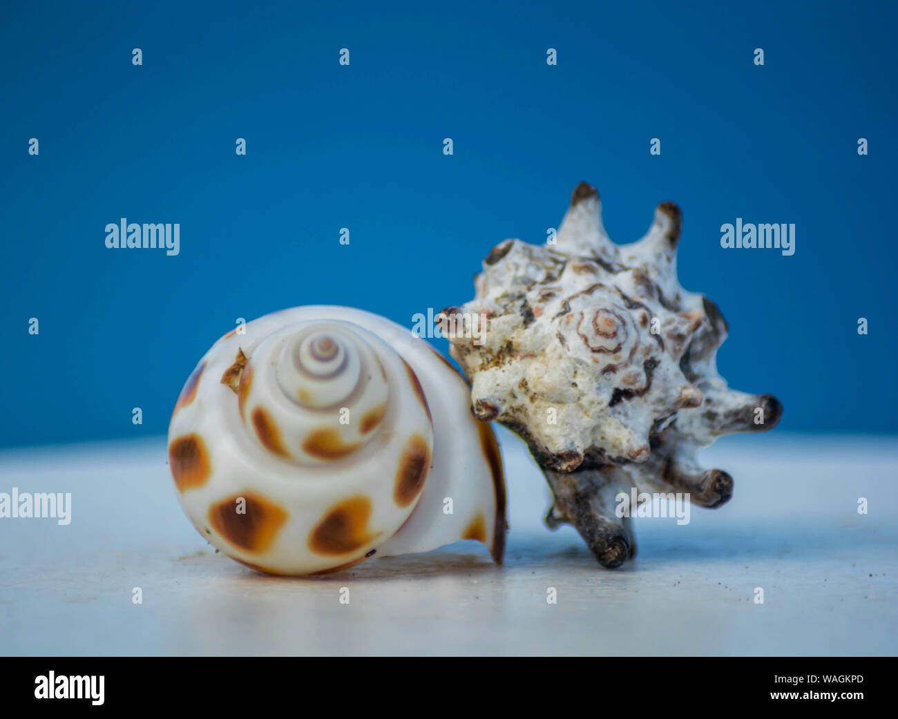 Two seashells on top of each other in a nice soft blue background. Big seashell on the beach close up. Sea shell isolated on blue background. Stock Photo