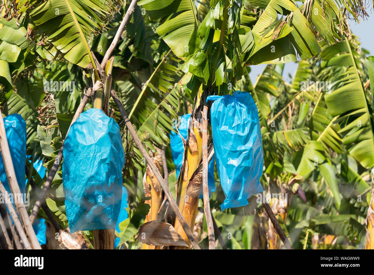 close up of blue plastic bags covering small bunches of bananas on a banana tree or plant on a plantation or farm in Hazyview Mpumalanga, South Africa Stock Photo