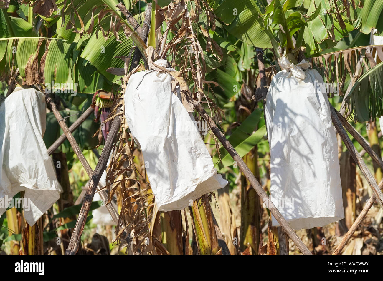 close up of white plastic bags covering large banana bunches on a banana plant or tree on a plantation or farm in Hazyview, Mpumalanga, South Africa Stock Photo