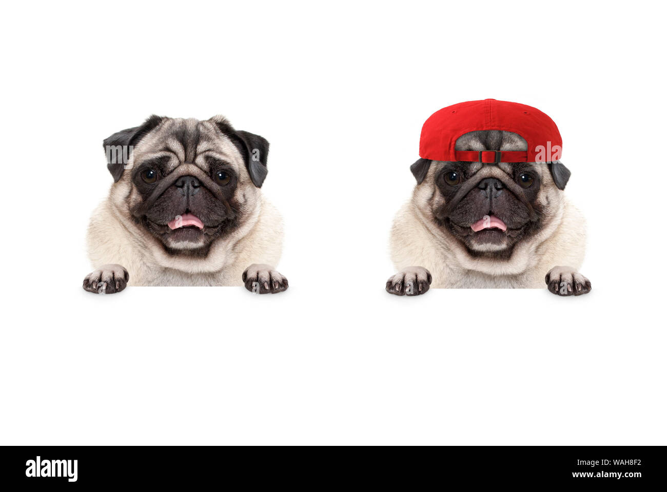 frolic smiling pug puppy dog wearing red cap hat, with paws on white banner, isolated Stock Photo