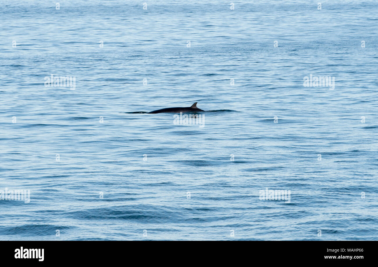Partial view of a whale off the coast of Gloucester Massachusetts USA Stock Photo