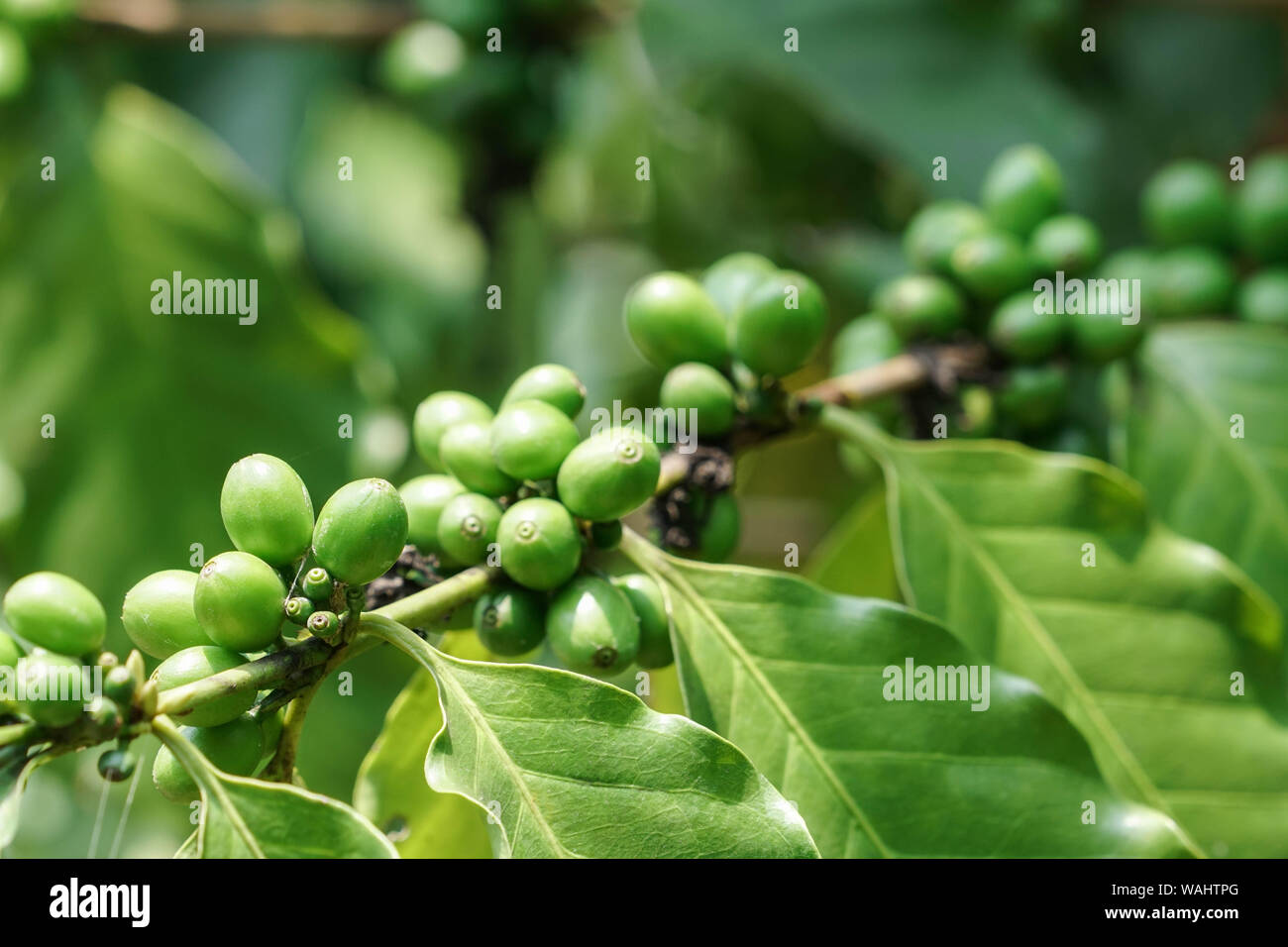 Green Coffee Beans On Tree In The Garden Stock Photo Alamy