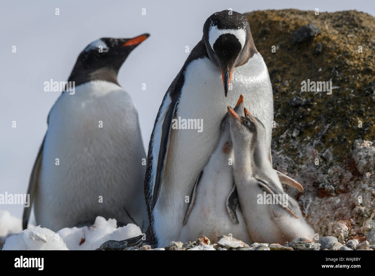 Antarctica, Antarctic Peninsula, Brown Bluff. Gentoo penguin feeding three chicks. Stock Photo