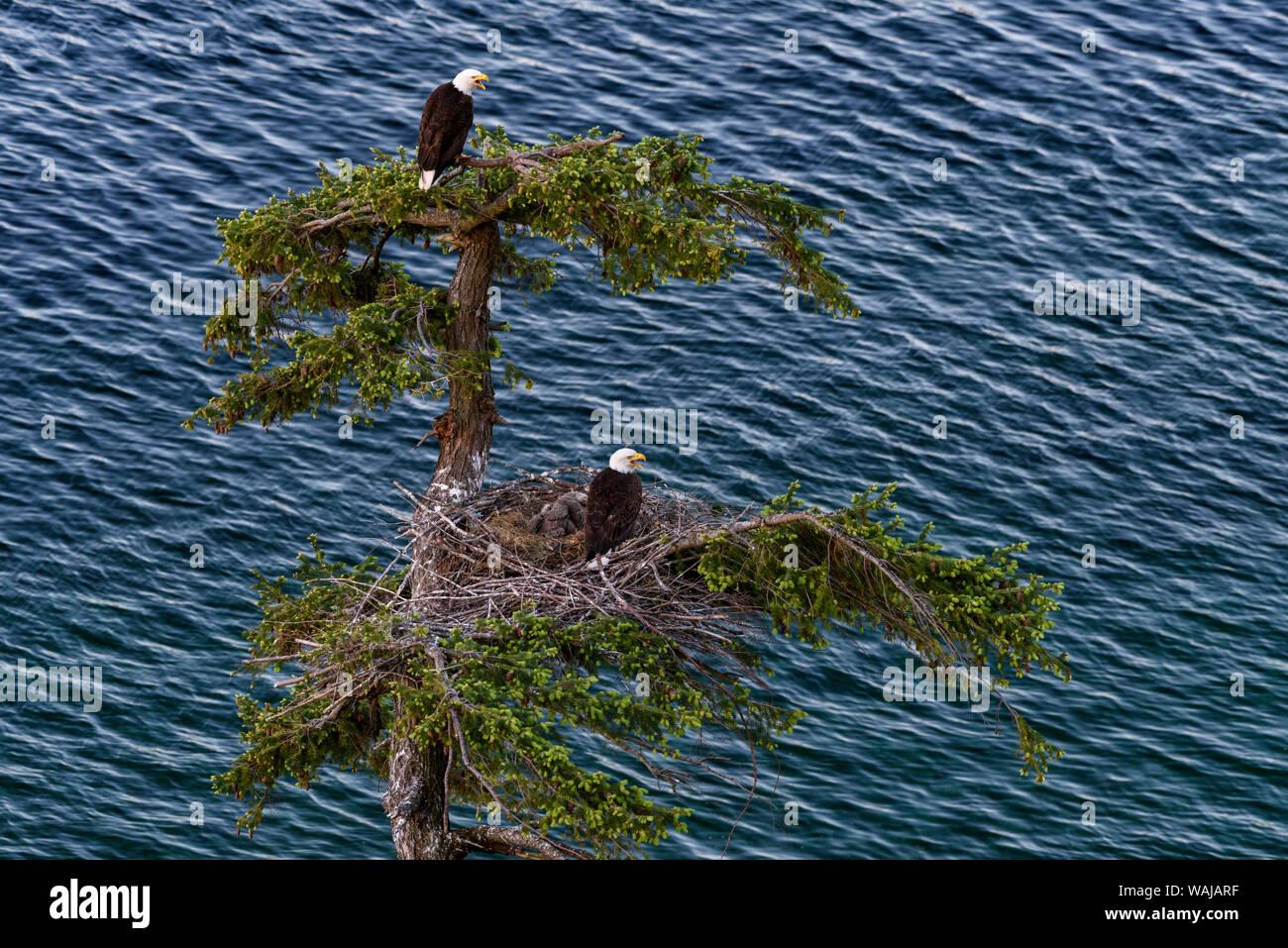 Canada, British Columbia. Bald eagles nest above the ocean. Stock Photo