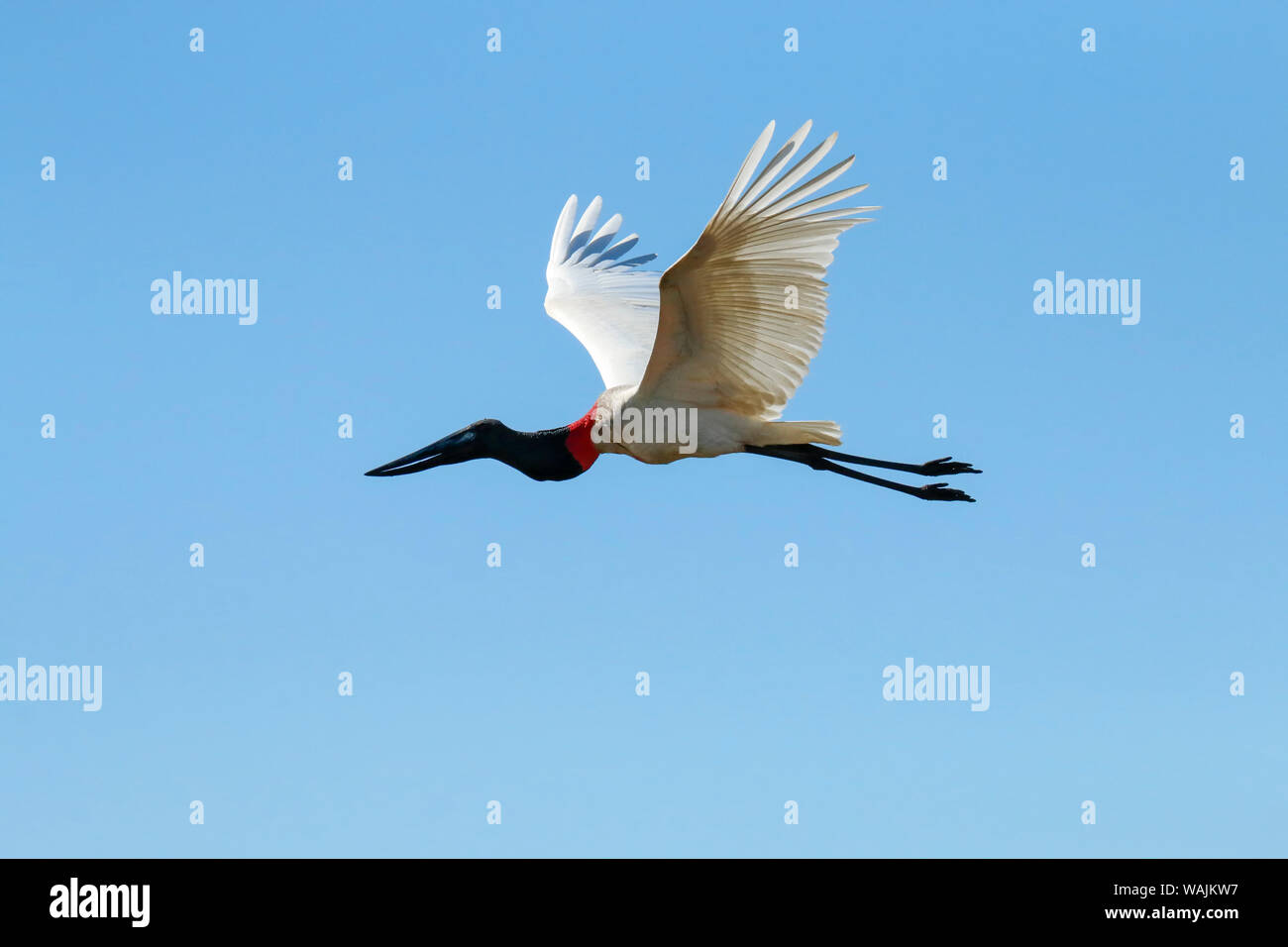 Jabiru Flying Stock Photos & Jabiru Flying Stock Images - Alamy